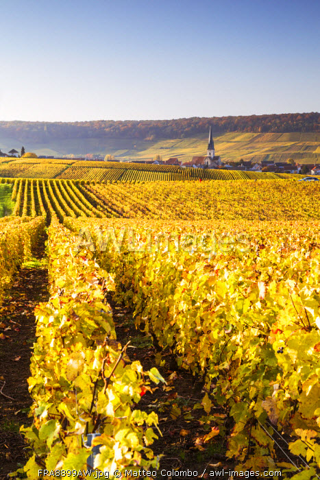 Vineyards, Chamery, Champagne Ardenne, France