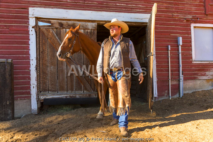 Horse being led out of stable on ranch, British Columbia, B.C., Canada