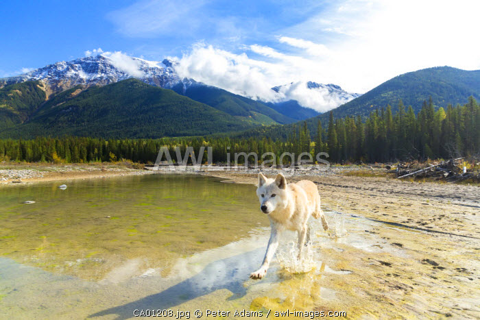 Grey wolf running through river, The Rockies, British Columbia, Canada
