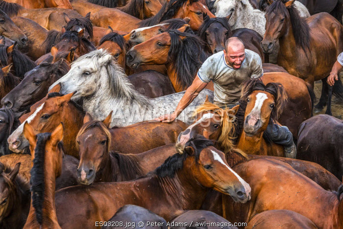 Wild horses rounded up in the crowded arena during the Rapa das Bestas (Shearing of the Beasts) festival at Sabucedo, Galicia, Spain