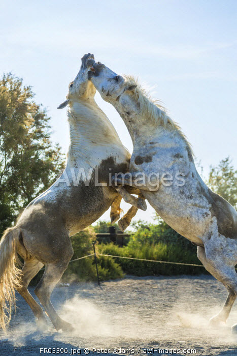 White horse stallions fighting, The Camargue, France
