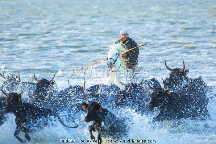 Gardian, cowboy & horseman of the Camargue rounding up bulls in water, Camargue, France