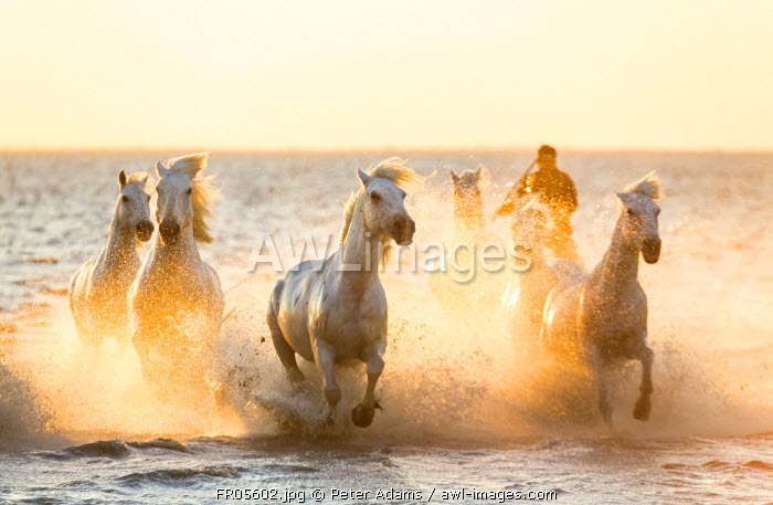 Gardian, cowboy & horseman of the Camargue with running white horses, Camargue, France