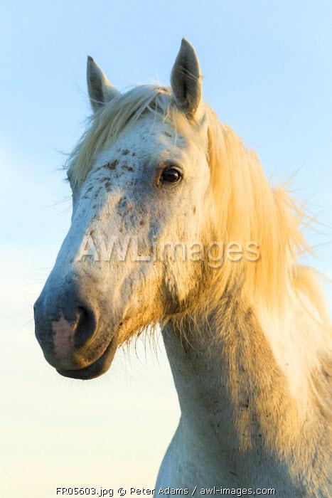 Portrait of white horses head, The Camargue, France
