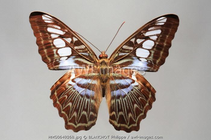 Malaysia, Lepidoptera, Nymphalidae, Clipper Butterfly (Parthenos sylvia)