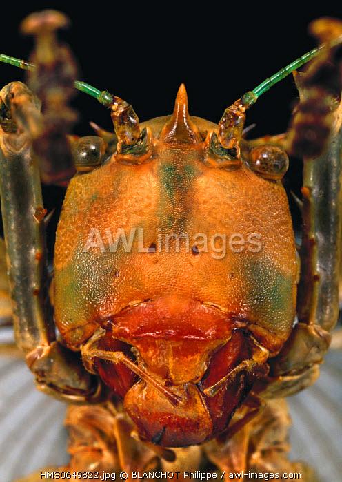Malaysia, Orthoptera, Tettigoniidae, Conehead katydid (Eumegalodon sp), portrait