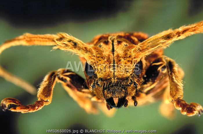 Malaysia, Coleoptera, Cerambycidae, Longhorned beetle (Xylorhiza adusta), portrait