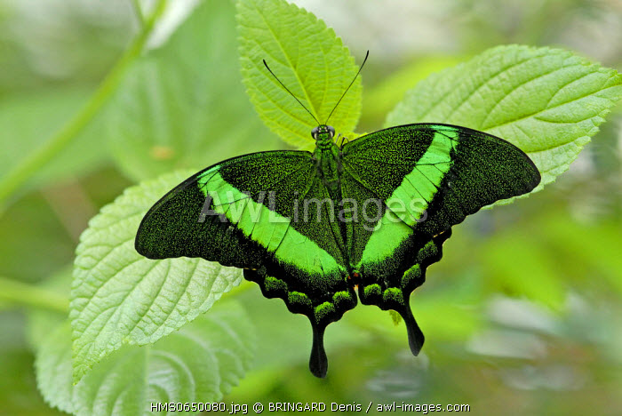 France, Haut Rhin, Hunawihr, Butterfly Garden, insect, Lepidoptera, Emerald Swallowtail (Papilio Palinurus), from Malaysia