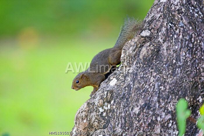 Malaysia, Sarawak state, Bako National Park, Plantain squirrel (Callosciurus notatus)