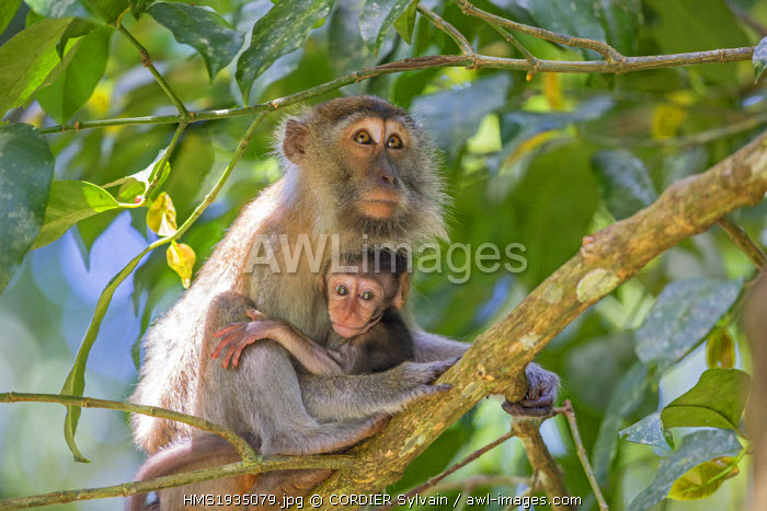 Malaysia, Sarawak state, Bako National Park, Crab-eating macaque or long-tailed macaque (Macaca fascicularis)