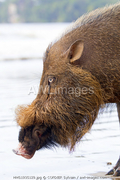 Malaysia, Sarawak state, Bako National Park, Bornean bearded pig (Sus barbatus), on the beach