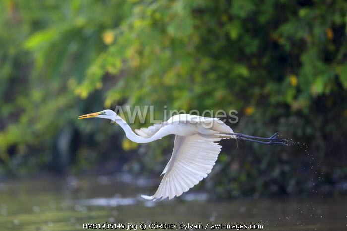 Malaysia, Sabah state, Kinabatangan river, Intermediate Egret, median egret, maller egret or yellow-billed egret (Mesophoyx intermedia)