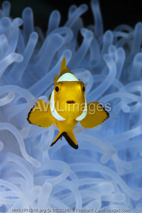 Indonesia, West Papua, Cenderawasih Bay, Heteractis magnifica, Amphiprion ocellaris, Juvenile Clown Anemonefish in bleached Sea Anemone