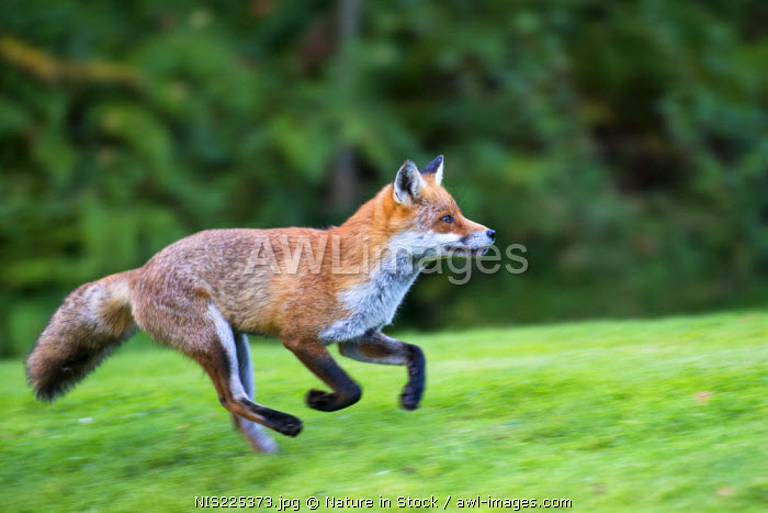 awl-images.com - England / Red fox (Vulpes vulpes) running, England, Sussex, Ashdown Forest