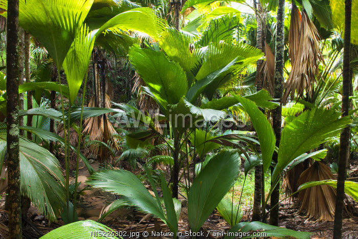 awl-images.com - Seychelles / Thief palms (Phoenicophorium borsigianum) (predominant) and Coco de Mer palms (Lodoicea maldivica), Seychelles, Praslin, Vallee de Mai (a UNESCO World Heritage Site managed by Seychelles Islands Foundation)