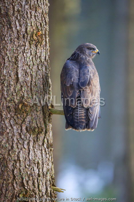 awl-images.com - Czech Republic / Common Buzzard (Buteo buteo) perching on a low branch, Czech Republic, South Bohemia, Zdarske vrchy