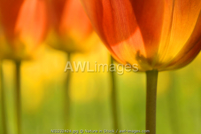 awl-images.com - The Netherlands / Colourful unidentified Tulips (Tulipa sp) flowering in sunlight, The Netherlands, Zuid-Holland
