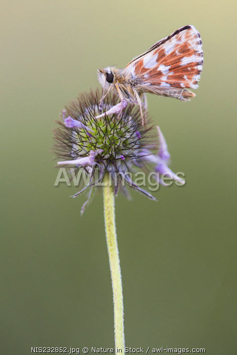 awl-images.com - France / Red-underwing Skipper (Spialia sertorius) sitting on flower, France, Isere