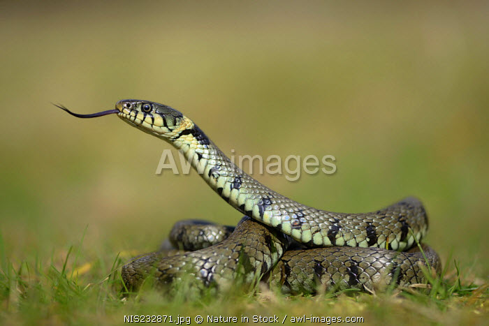 awl-images.com - England / Grass Snake (Natrix natrix) basking in the sun, England, Lincolnshire