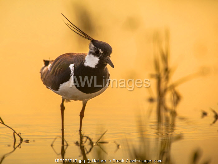 awl-images.com - The Netherlands / Frontal view of male Northern Lapwing (Vanellus vanellus) wading in shallow water in the orange light of the rising sun, The Netherlands, Noord Holland, Marken
