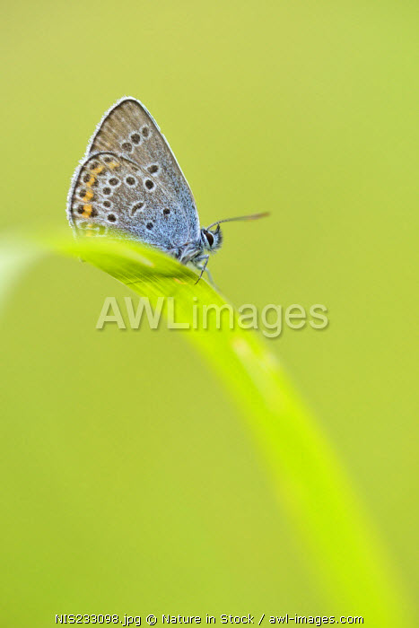 awl-images.com - Germany / Silver-studded Blue (Plebejus argus) male resting on unidentified blade of grass (Poaceae), Germany, Nordrhein Westfalen, Eifel