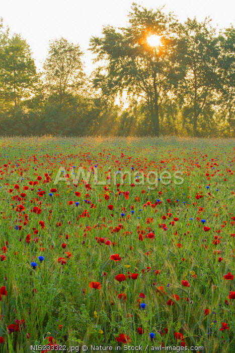 awl-images.com - The Netherlands / Flowering Poppy (Papaver rhoeas) field, The Netherlands, Noord-Brabant, Nature reserve Gijzenrooi