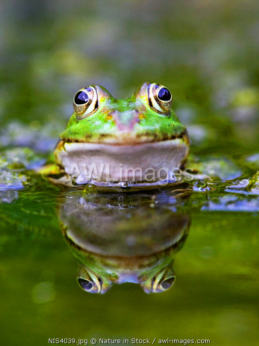 awl-images.com - The Netherlands / Edible Frog (Rana esculenta) The Netherlands