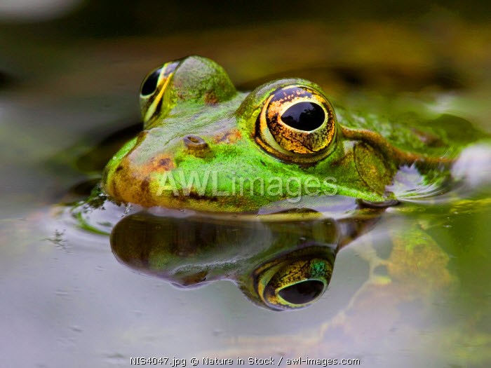 awl-images.com - The Netherlands / Edible Frog (Rana esculenta), portrait, The Netherlands