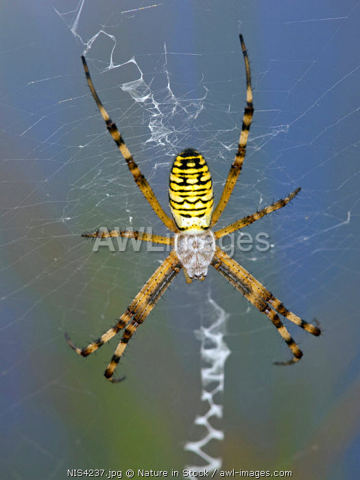 awl-images.com - The Netherlands / Wasp Spider (Argiope bruennichi), female, The Netherlands