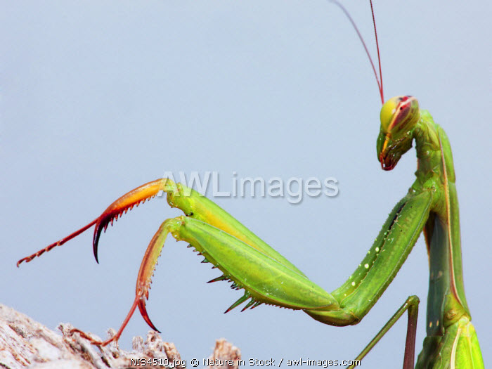 awl-images.com - Spain / European Mantid (Mantis religiosa), with the common name praying mantis. Spain