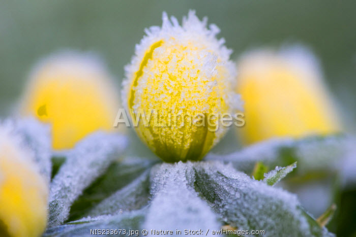awl-images.com - The Netherlands / Winter Aconite (Eranthis hyemalis) flowering in frost, The Netherlands, Noord-Holland