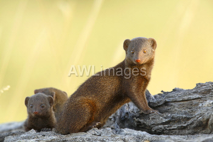 awl-images.com - South Africa / Three Dwarf Mongoose (Helogale parvula) on a fallen tree trunk, South Africa, Mpumalanga, Kruger National Park