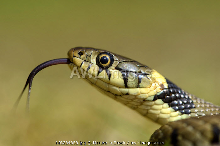 awl-images.com - England / Grass Snake (Natrix natrix) basking in the morning sun, England, Lincolnshire