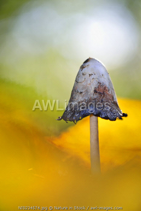 awl-images.com - The Netherlands / Shaggy Inkcap (Coprinus comatus), The Netherlands, Noord-Holland, Mariahoevepark
