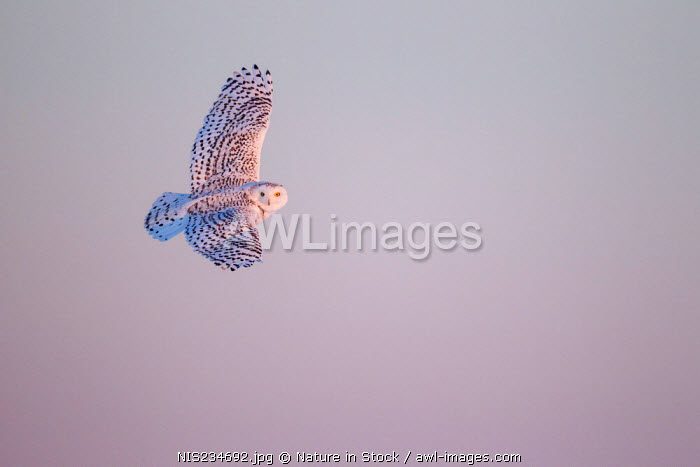 awl-images.com - Canada / Snowy Owl (Bubo scandiacus) in flight, Canada