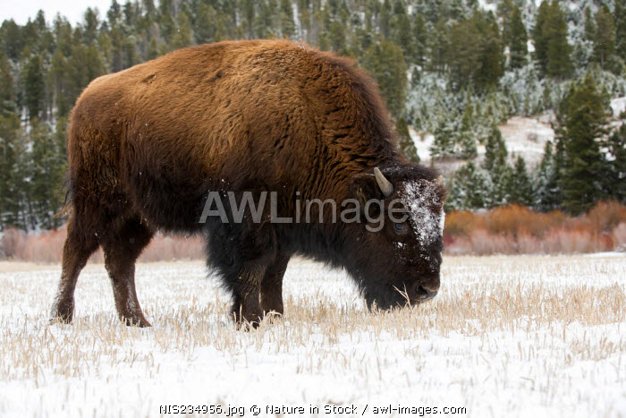 awl-images.com - USA / American Bison (Bison bison) grazing in the snow during Winter, USA, Montana
