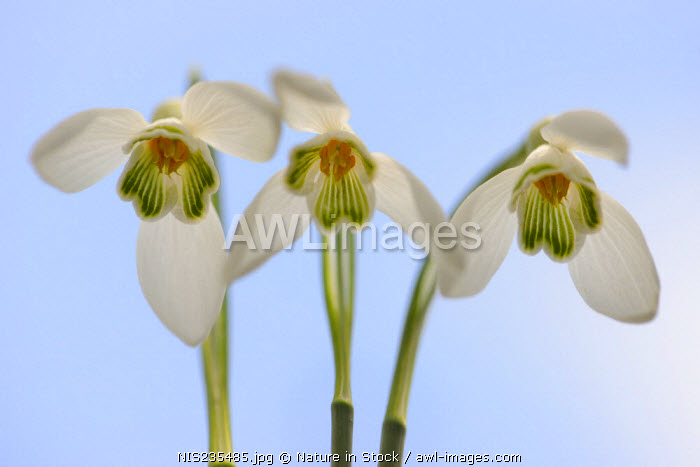 awl-images.com - The Netherlands / Group of Common Snowdrops (Galanthus nivalis) seen from the underside, The Netherlands, Noord-Brabant