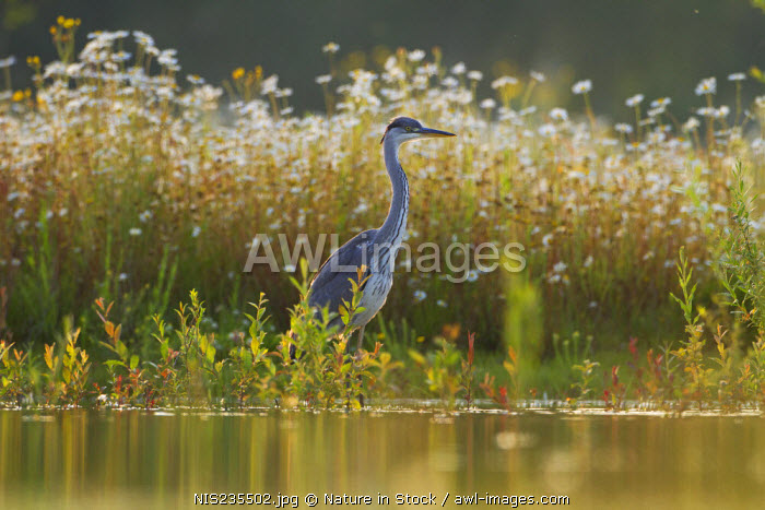 awl-images.com - The Netherlands / Grey Heron (Ardea cinerea) fishing in front of Ox-eye Daisy (Leucanthemum vulgare) field, The Netherlands, Noord-Brabant, Someren-Heide