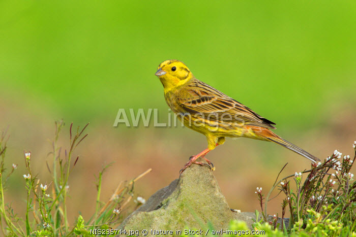 awl-images.com - Belgium / Yellowhammer (Emberiza citrinella) adult male perched on a rock in farmland, Belgium, Antwerp