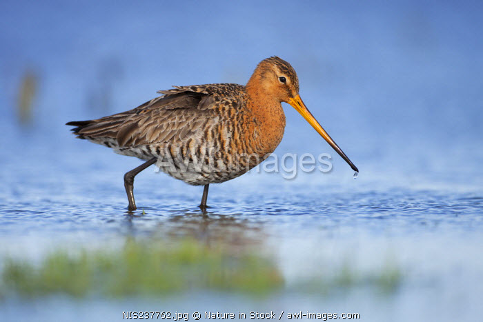 awl-images.com - The Netherlands / Black-tailed Godwit (Limosa limosa) male foraging, The Netherlands, Noord-Holland, Marken