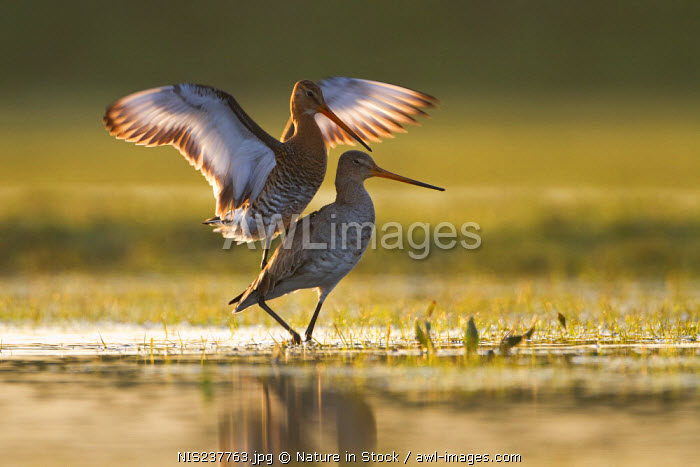 awl-images.com - The Netherlands / Black-tailed Godwits (Limosa limosa) mating, The Netherlands, Noord-Holland, Marken