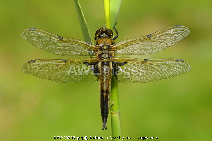 awl-images.com - England / Four-spotted Chaser (Libellula quadrimaculata) perched on a reed, England, Lincolnshire