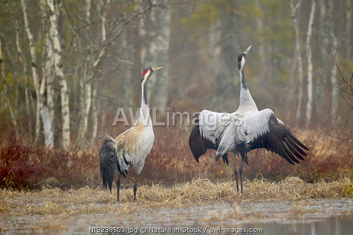 awl-images.com - Sweden / Two Common Crane (Grus grus) just befor mating, Sweden, Gavleborgslan, Hamra, Hamra National Park