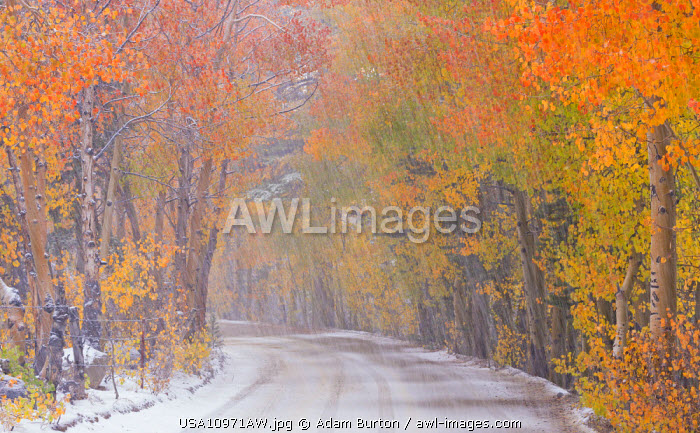 awl-images.com - USA / Snowfall and autumn foliage beside a high country road in the Eastern Sierras, Bishop Creek Canyon, California, USA. Autumn (October) 2015.