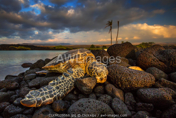 Green sea turtle sleeping on lava rocks in Kiolo Bay at sunset, Hawaii, USA