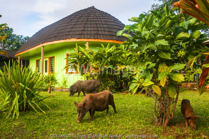 awl-images.com - Tonga / Pigs eating in a garden before a traditional house in Neiafu, Vava'u, Tonga, South Pacific