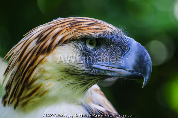 awl-images.com - Philippines / Philippine Eagle (Pithecophaga jefferyi), also known as the Monkey-eating Eagle, Davao, Mindanao, Philippines