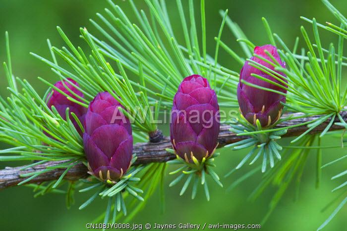 Canada, Quebec, Mount St. Bruno Conservation Park. Tamarack tree cones