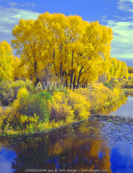 USA, Colorado, Curecanti National Recreation Area, Narrowleaf cottonwood and willows display fall color along the Gunnison River