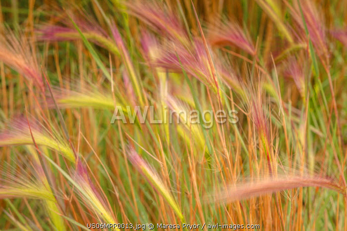 Fox-tail Barley, Hordeum jubatum, roadside, Routt National Forest, Colorado, USA